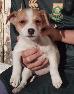 Jack Russell Puppies for sale: