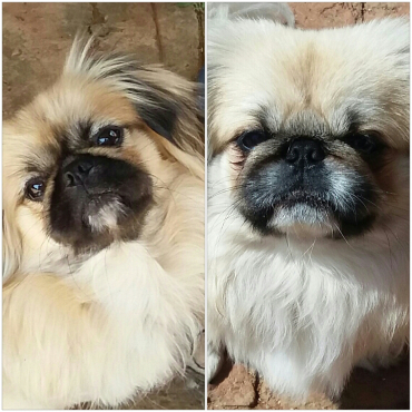 Two pekingeses looking for a new home