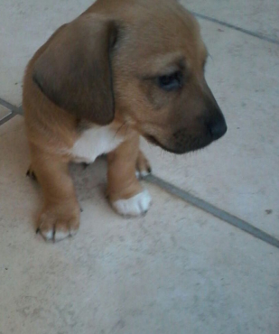 3 Male puppies - Sausage dog and Jack Russel Cross