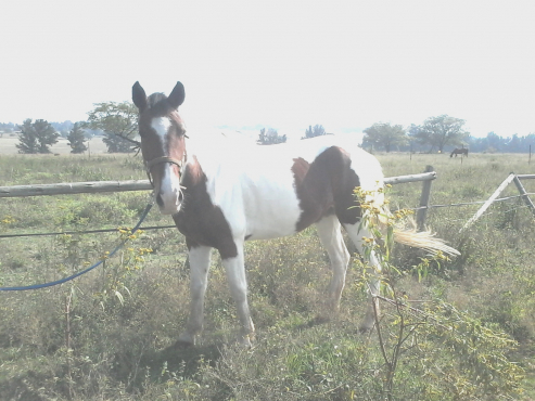 Pretty Skewbald Mare, very special horse.