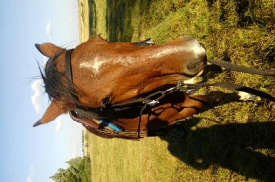 Tame, Rideable Boerperd Mare For Sale.