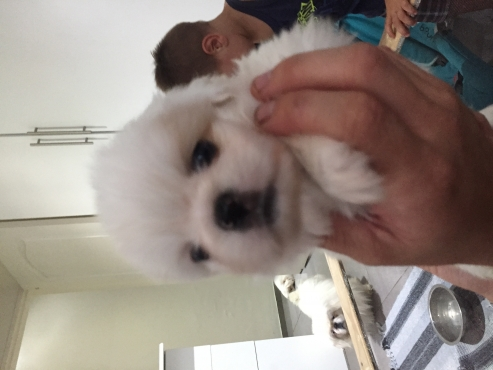 Pekenise puppies for sale