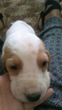 Beautiful Basset pups for sale.