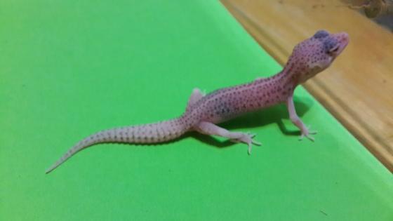 Variety juvenile Leopard geckos for sale