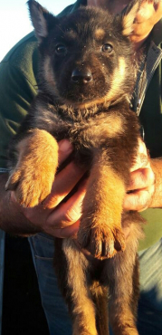 Alsatian / German Shepherd puppies