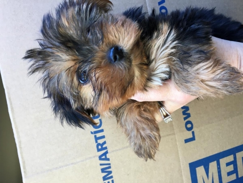 Beautiful Teacup size Yorky terrier puppies looking for good homes to spend the rest of their lives