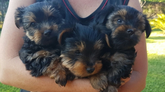 Miniature Yorkie puppies