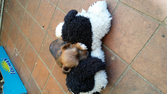 Yorkshire Terrier x Jack Russel puppies for sale