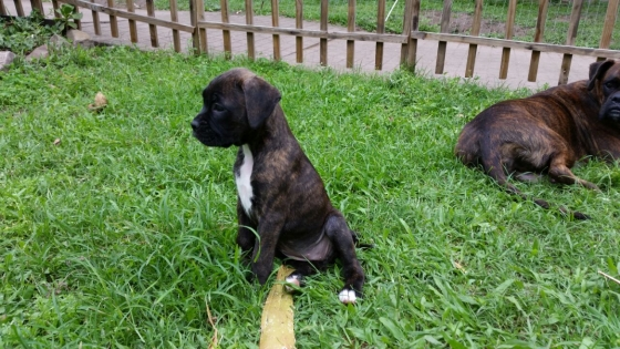 Though Breed Boxer pups R2000 per puppy without Inoculation, and R2500  per puppy with Inoculation