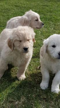 Golden Retriever Puppies(12 weeks old)