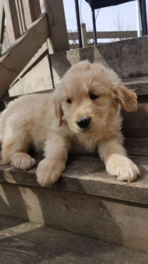 Golden Retriever Puppies(12 weeks old)
