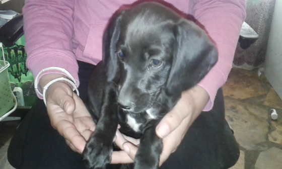 Dachshund cross puppies for sale