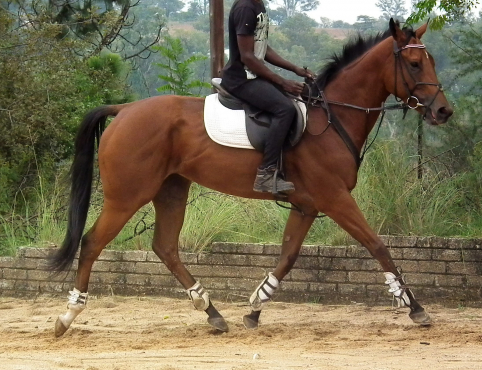 Ideal Junior or Childs horse