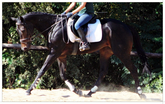 TALENTED GELDING FOR SALE