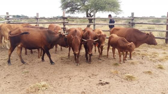 Africaner Cattles