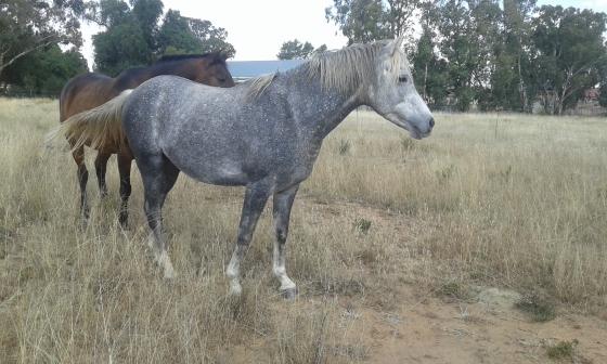 Horse/perd for sale : 75%Arab stallion