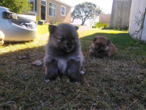 Adorable pedigree Pomeranian puppies Fo Sale