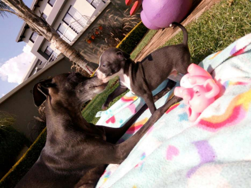 3,Gorgeous purebred Italian Greyhound puppies for sale