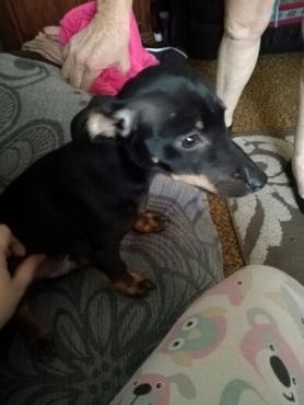 miniature pinscher male pup