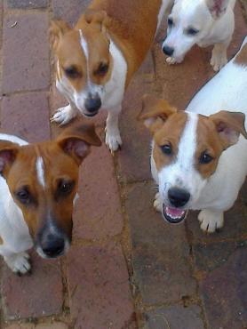 Jack Russell opregte registreerde ouers met 8 weke kleintjies. R1999