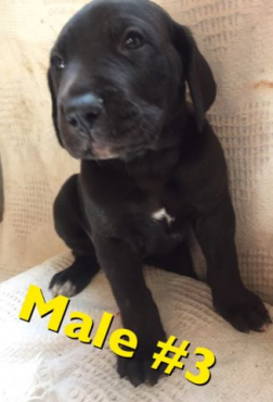 Purebred Great Dane Puppies For Sale!