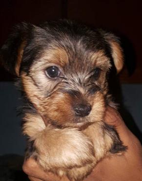 YorkshireTerrier puppies