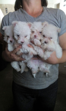 Maltese poodles puppies