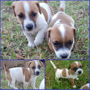Jack Russel Puppies.