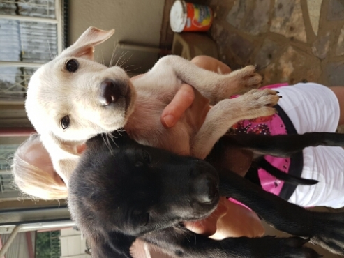 Labrador x german sheppard puppies for sale.