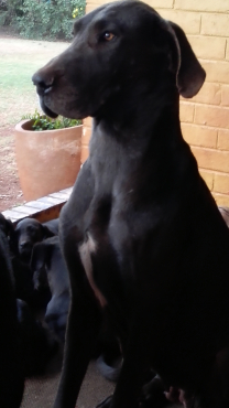Registered Giant Breed Great Dane Puppies available