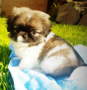 Beautiful Purebred Miniature Pekingese Puppy