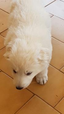 Swiss canadian white shepherd pups