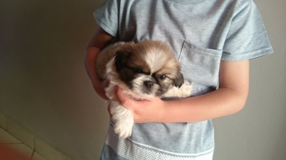 Miniature Pekingese Puppies