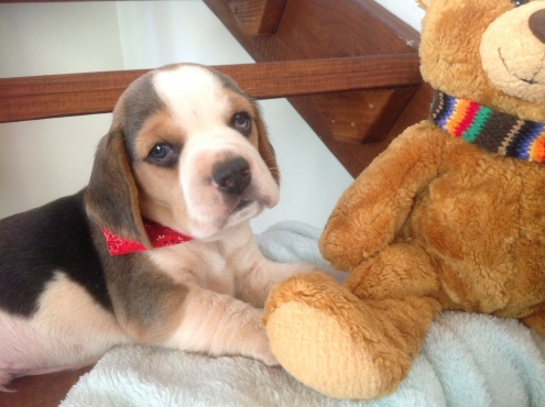 KUSA Registered Beagle Puppies