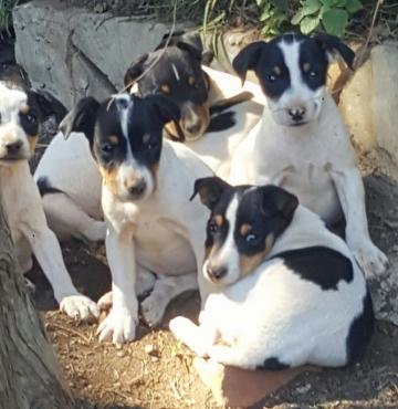 Fox Terrier Pupies for Sale