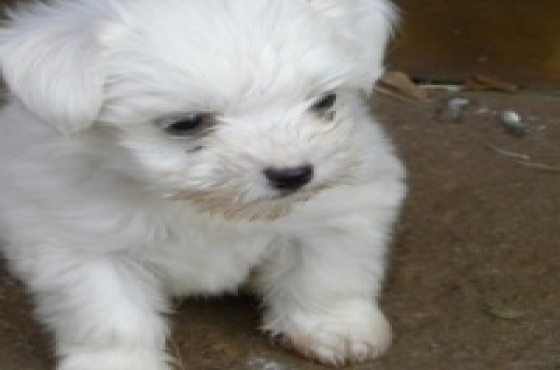 Maltese poodles
