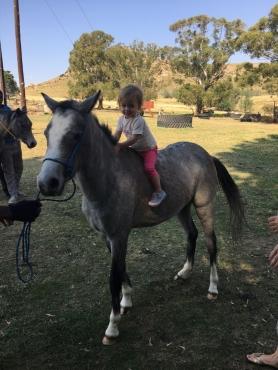 Arabian X Whelch ponies