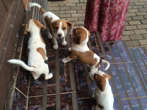Jack Russell and beagle cross