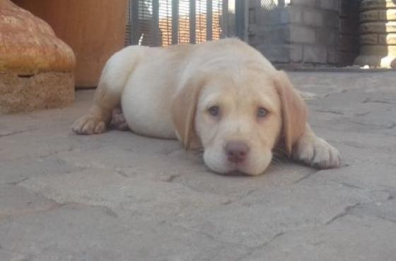Labrador puppies chocolate. black & golden white