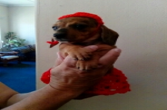 pragtige worsies(dachshund)