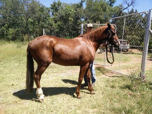 Quarterhorse x Boerperd