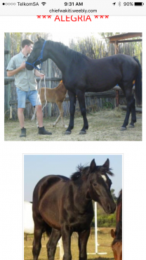 Friesian x Pinto mare for sale