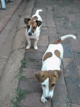 Jack Russell 8 w thoroughly bred pups R1999