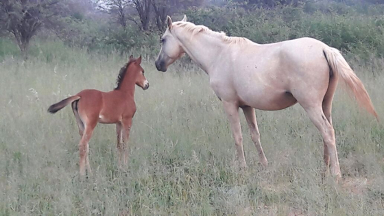 R6 000 - Rideable Palomino mare with filly at foot