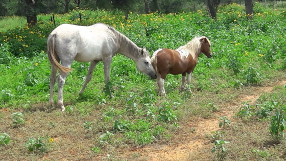 3 Miniature Horses For Sale Halter Tame