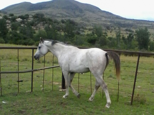 Pure Arab Gelding 15,1hh, Rideable