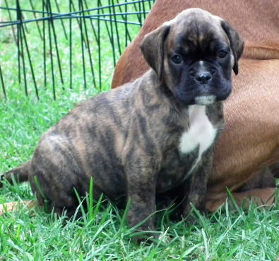 Stunning Boxer Pups