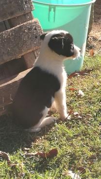 Bordie Collie Puppies