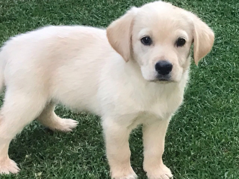 Pedigree Golden Retriever / Labrador Puppies for sale | Junk Mail