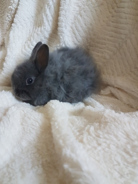 Dwarf Jersey Wooly bunnies for sale
